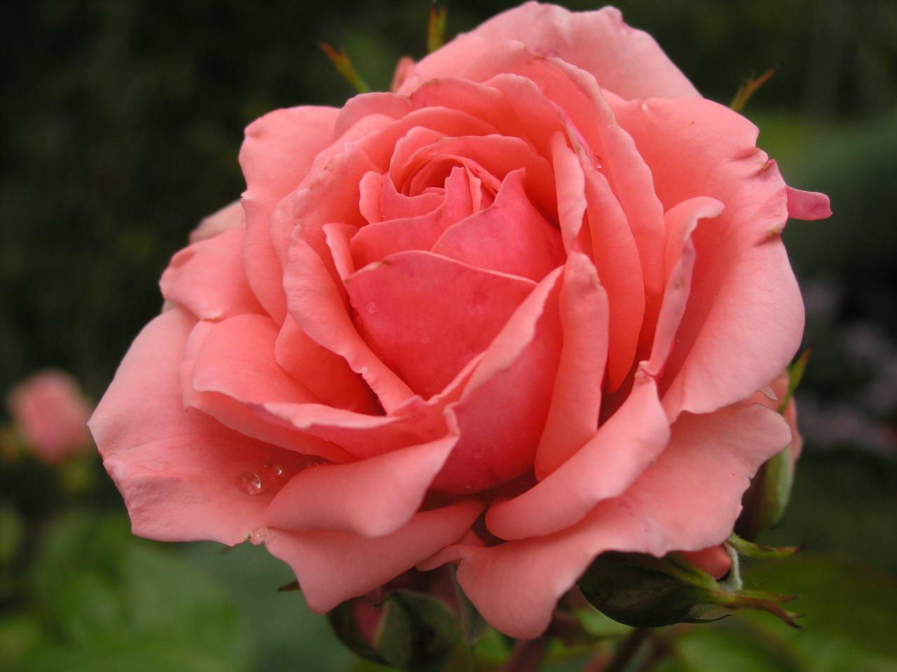 roses200633redimensionner.jpg