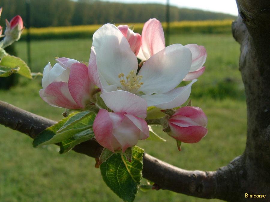 Fleurs de pommier dans Fleurs et plantes Fleurs-de-pommier900-001
