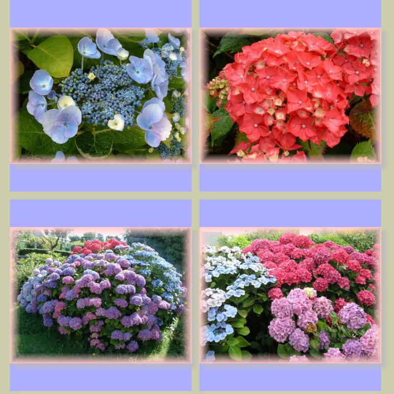 Fleurs dans Fleurs et plantes Hortensisas