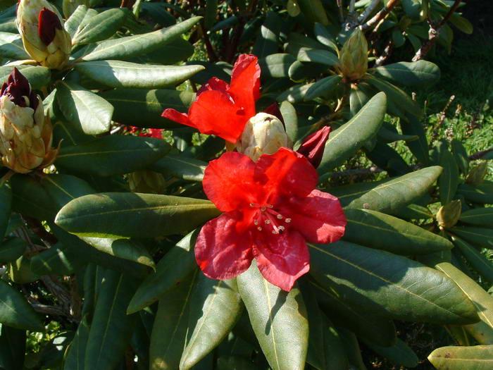 700rhododendrons01.jpg