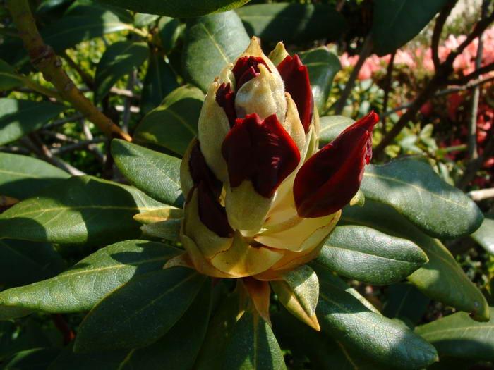 700rhododendrons05.jpg
