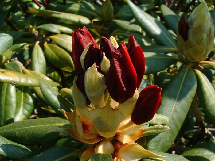 700rhododendrons06.jpg