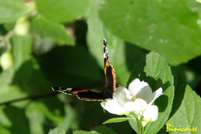 700seringatpapillon.jpg