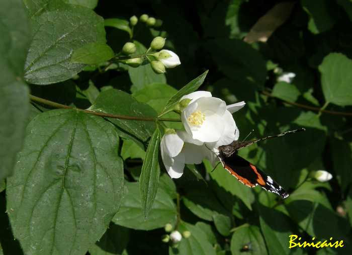 700seringatpapillon1.jpg