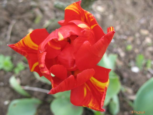 tulipepigui.jpg