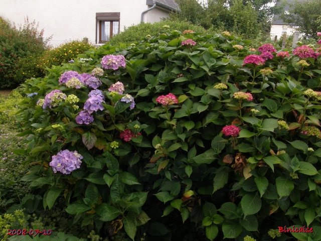 massifdhortensias7105359.jpg