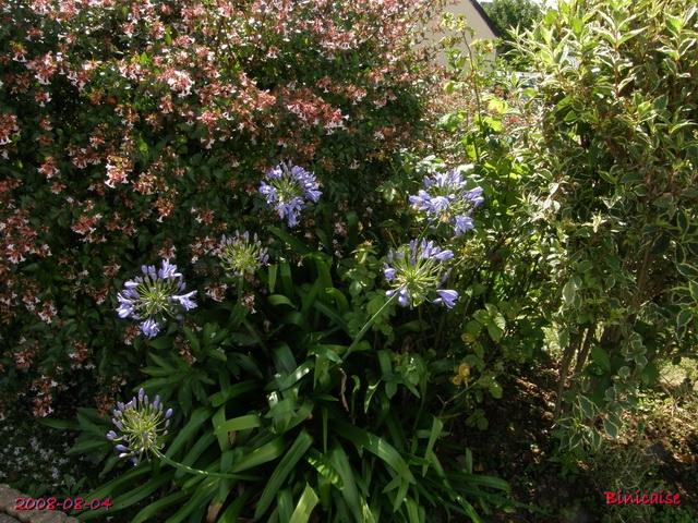 fleursdaout20088045496.jpg