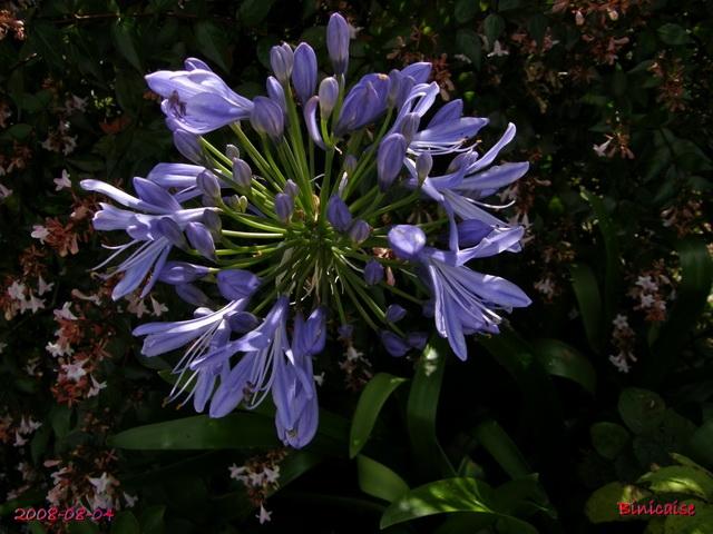 fleursdaout20088045499.jpg