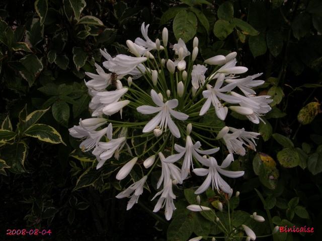 fleursdaout20088045503.jpg