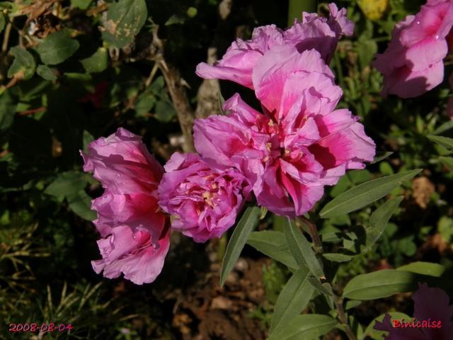 fleursdaout20088045514.jpg