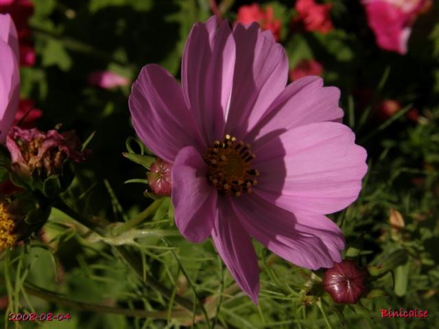 fleursdaout20088045516.jpg