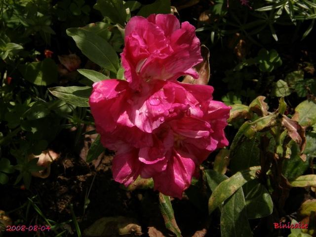 fleursdaout20088045517.jpg