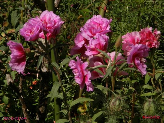 fleursdaout20088045536.jpg