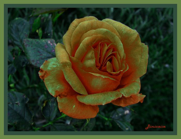 roserose01.jpg