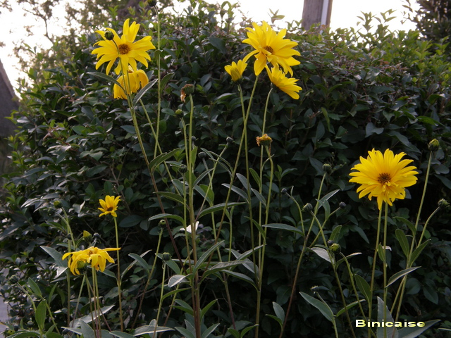fleursjaunes01.jpg