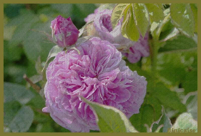 roses12.jpg