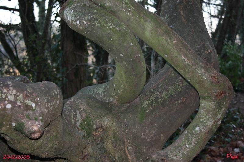 arbretordu1885.jpg