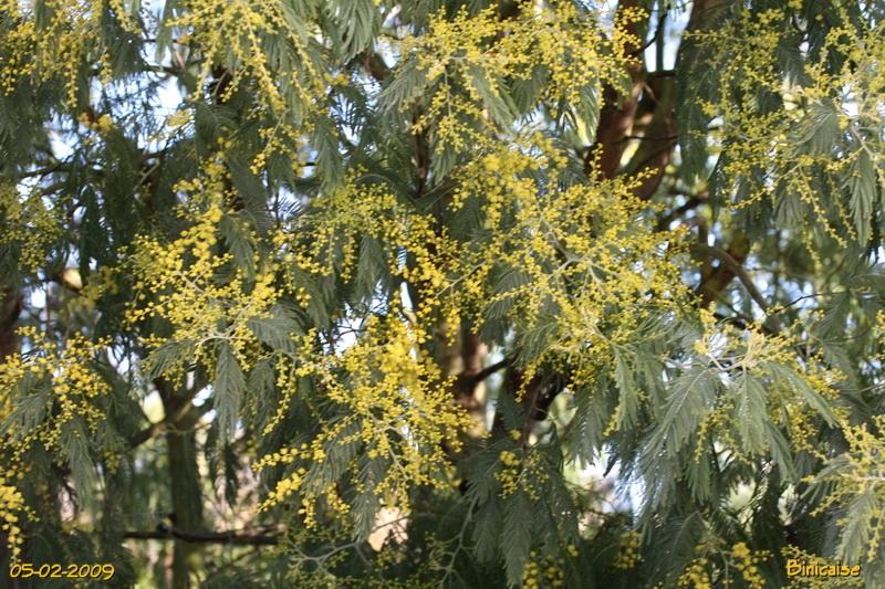 mimosas0001.jpg