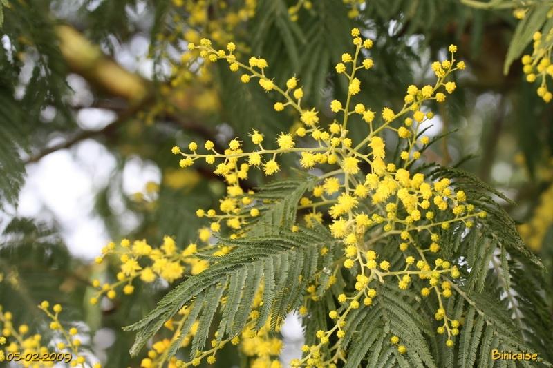 mimosas0002.jpg