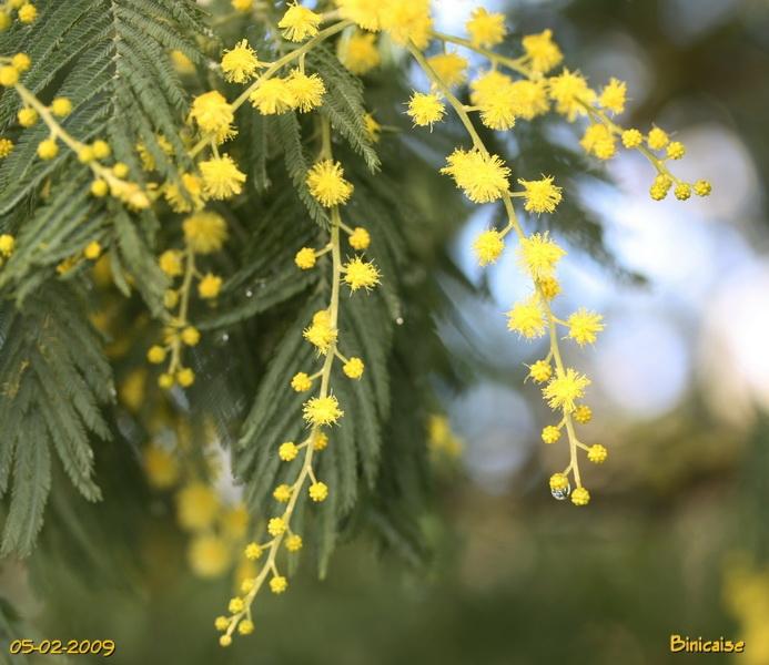 mimosas0003.jpg