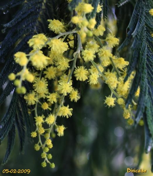 mimosas0004.jpg