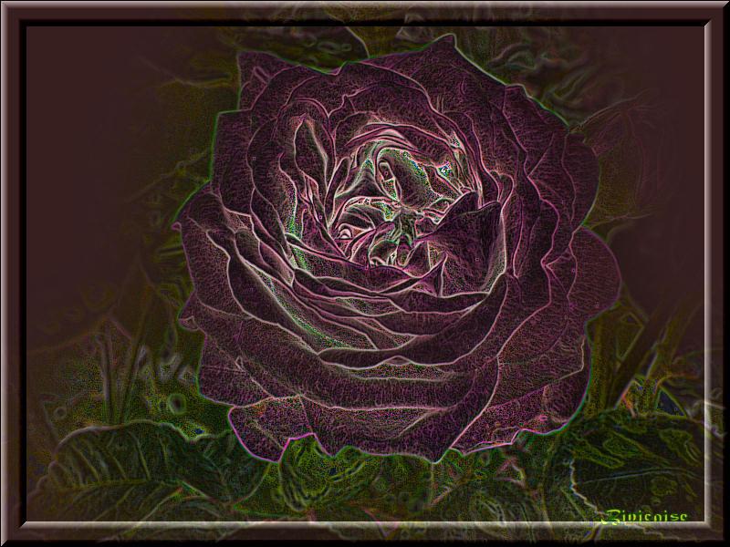 rosepourpre01.jpg