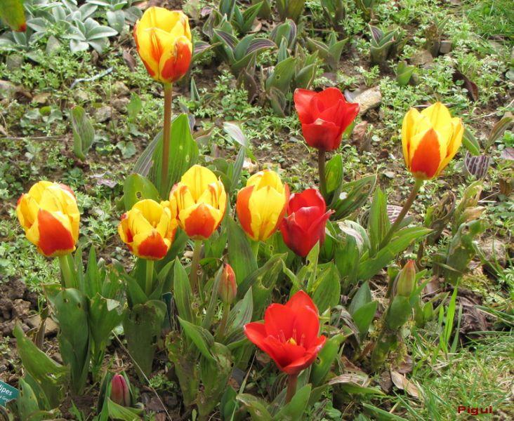 tulipespierre.jpg