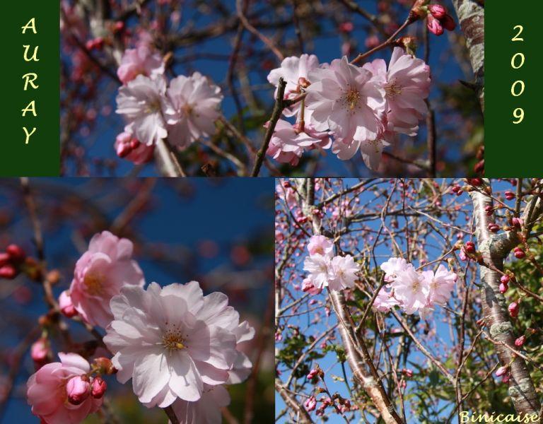 cerisiersdornement.jpg