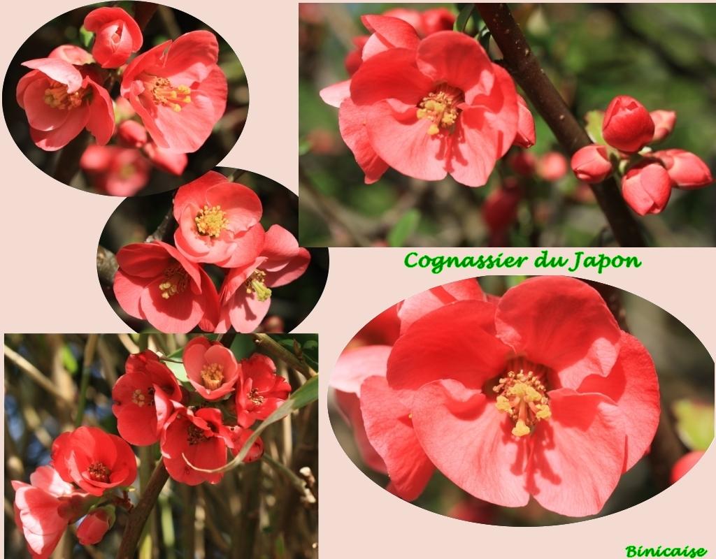 cognassier3.jpg