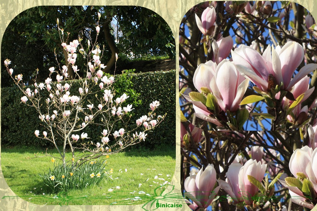 magnolias2.jpg