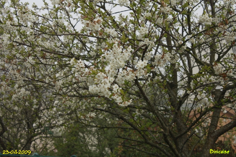 cerisiers200948223.jpg