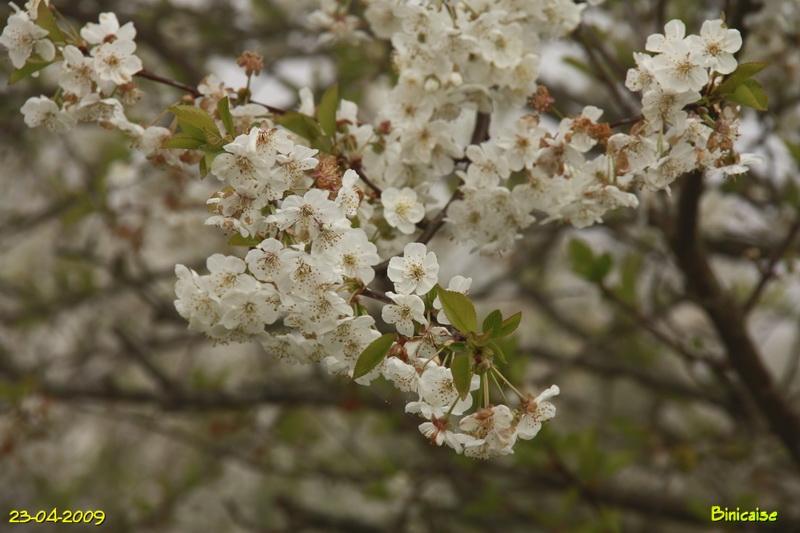 cerisiers20094823.jpg