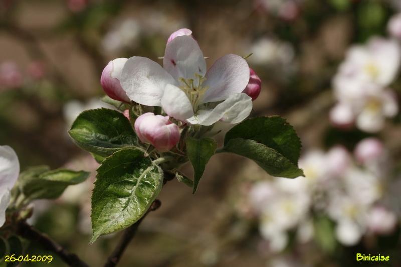 fleursdepommier8004887.jpg