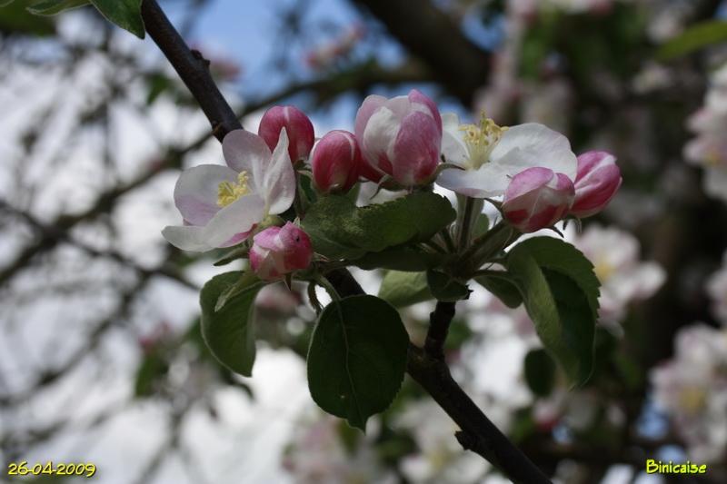 fleursdepommier8004888.jpg