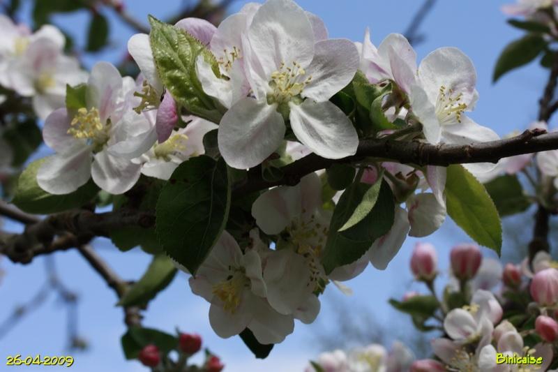 fleursdepommier8004889.jpg