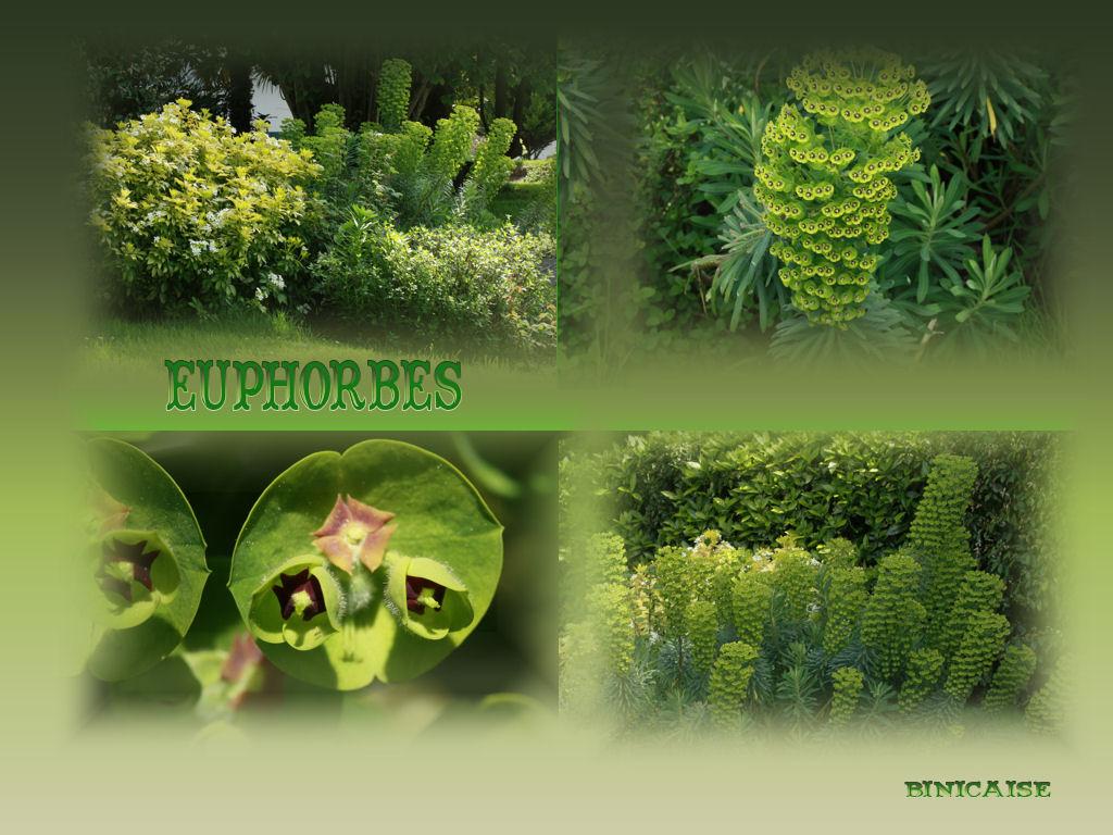 euphorbes.jpg