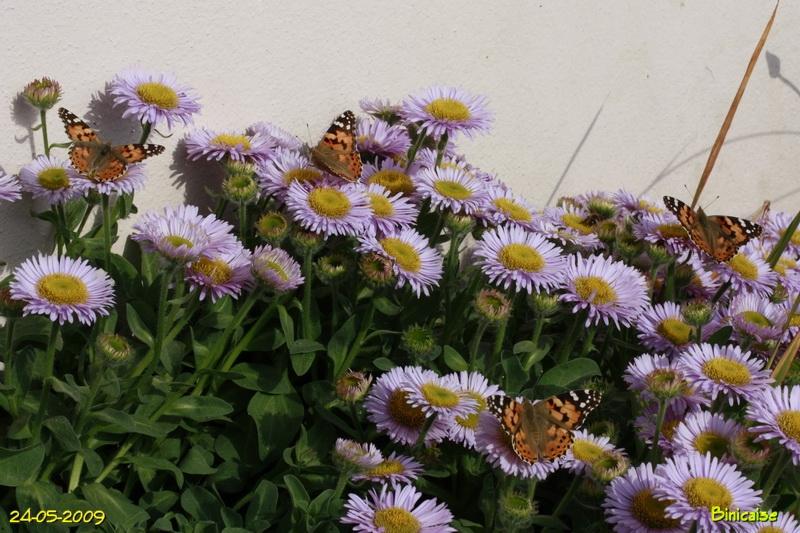 papillons5678.jpg
