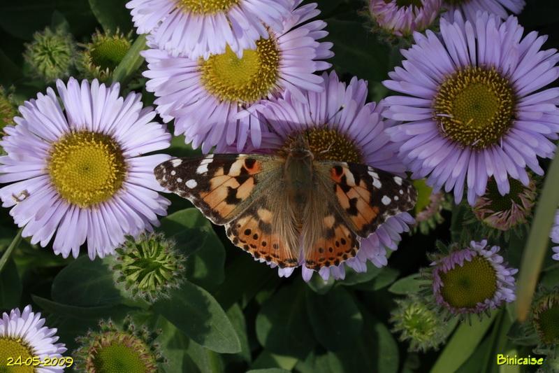papillons5681.jpg