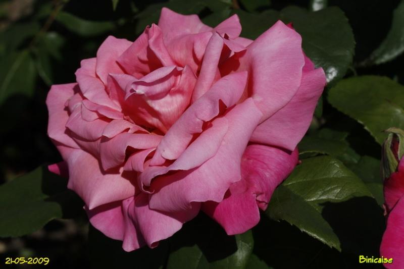 roses5415.jpg