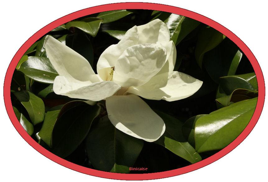 magnoliagrandiflora.jpg