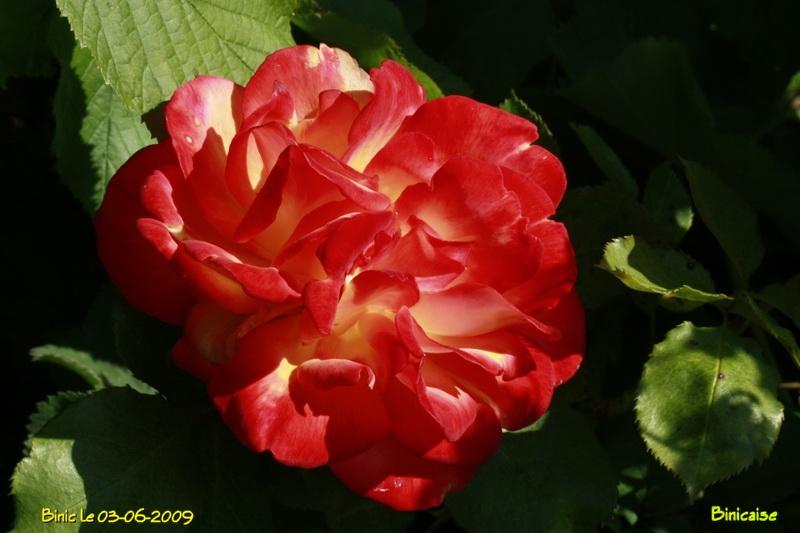 rosefeu6149.jpg