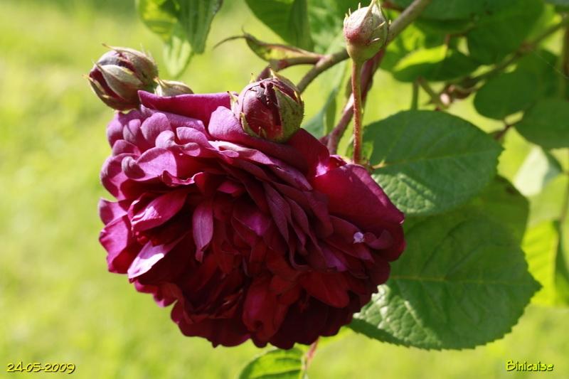 roses5428.jpg