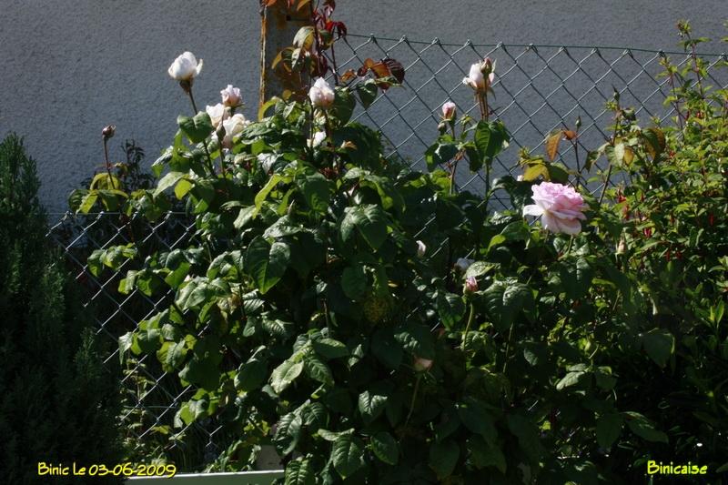 rosiersanglais6140.jpg