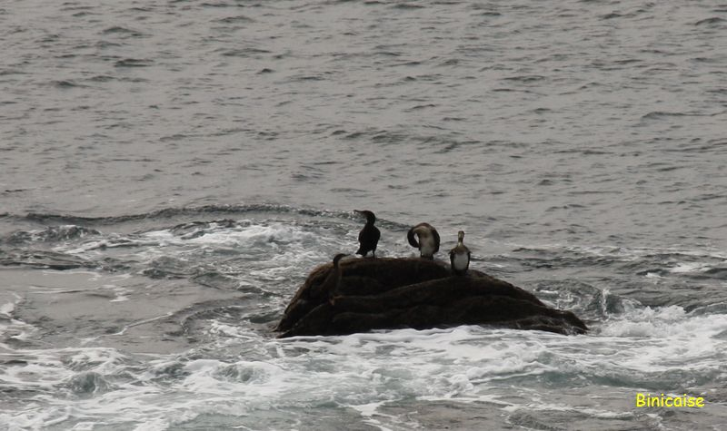 cormorans9392.jpg
