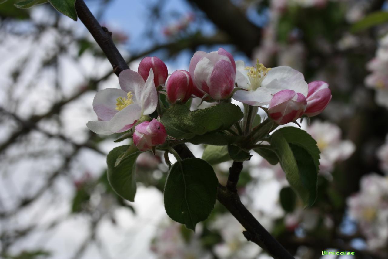 fleurdepommier.jpg