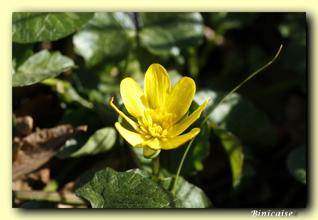 fleurjaune01.jpg