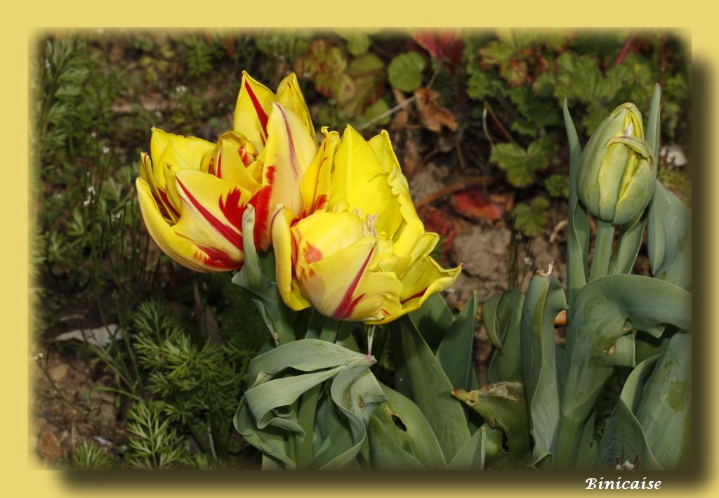 tulipesjaunes1.jpg