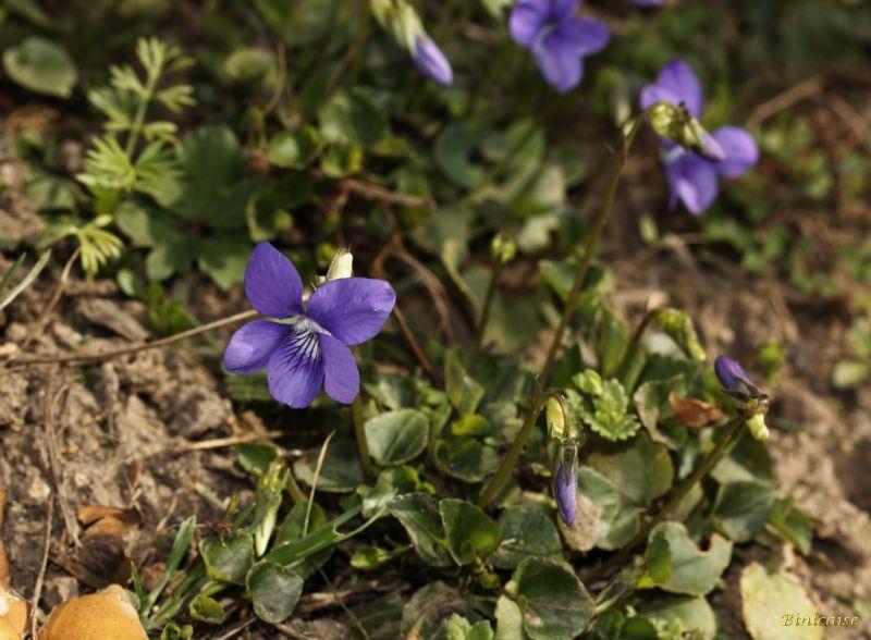 violettes01.jpg
