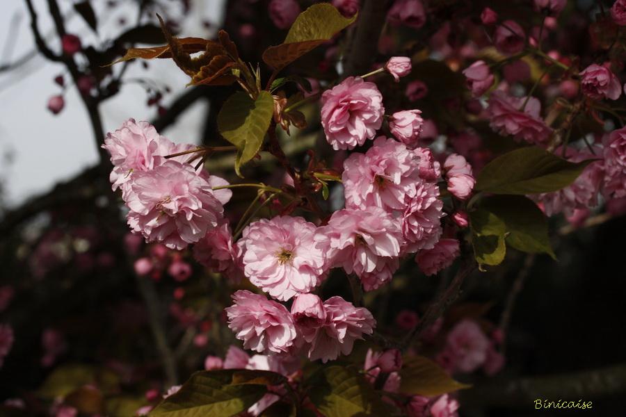 cerisiers20001.jpg