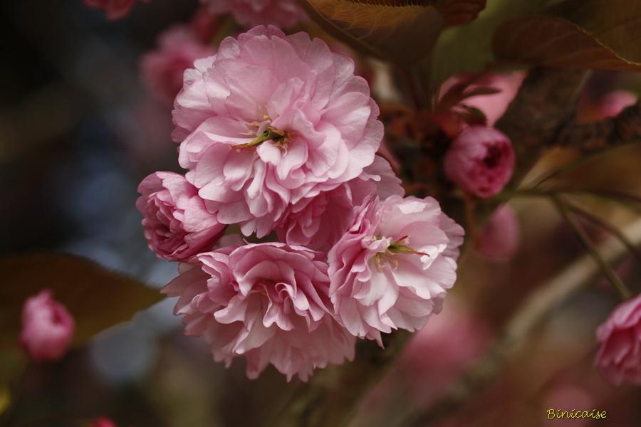 cerisiers20002.jpg